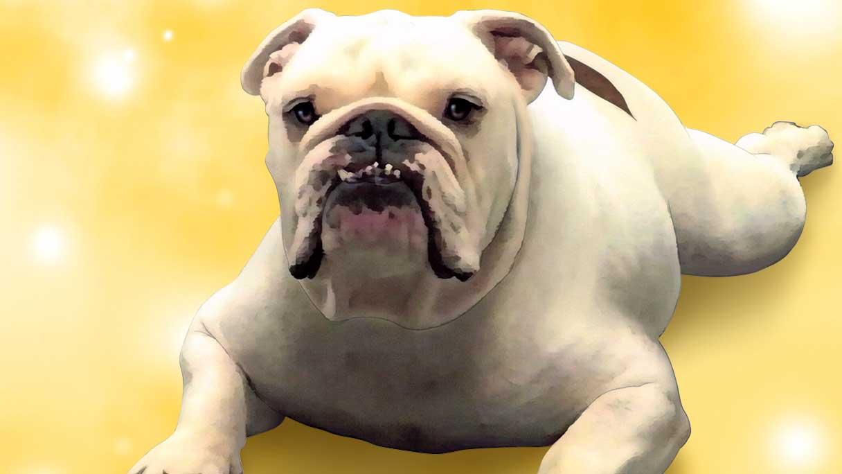 bulldog-1216x684
